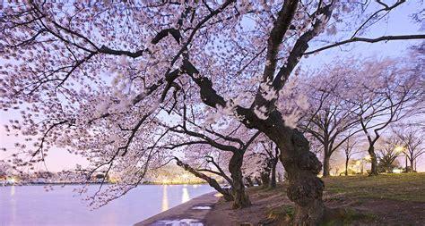 blossom tree celebrating 100 years of friendship stowaway magazine