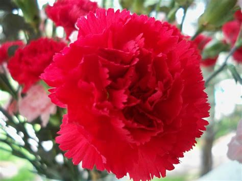 ohio oh state flower list of 50 state floweres of the ohio s state flower carnation oh io