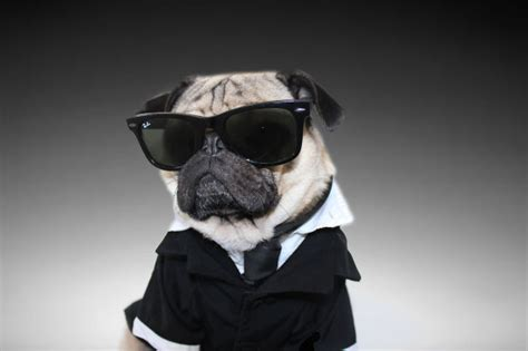 mib pug name doug the pug does better than you bored panda