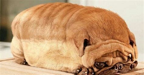 pug loaf of bread want some bread wait that s a pug dogs the lighter side of