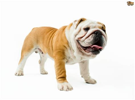 English Bulldog Dog Breed Information, Buying Advice ...