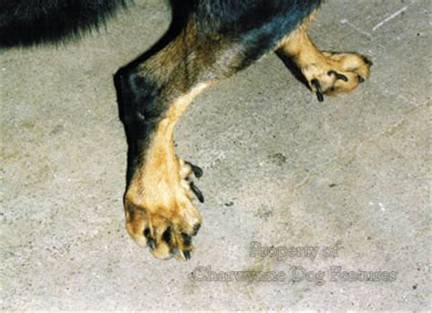 do golden retrievers dew claws archive