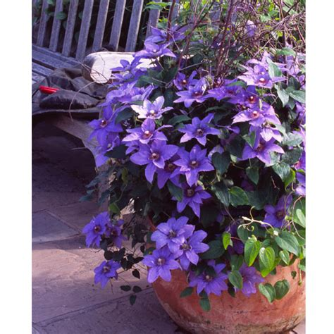 Patio Clematis by Customer Reviews For Patio Clematis Flowering Gift Parisienne
