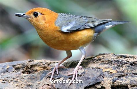 Manja Merah Burung Anis Merah Arsip Klub Burung
