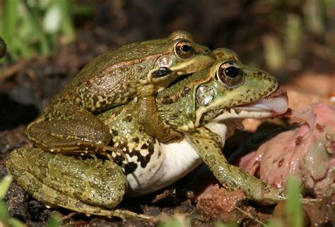 apareamiento animales el apareamiento rana perezi