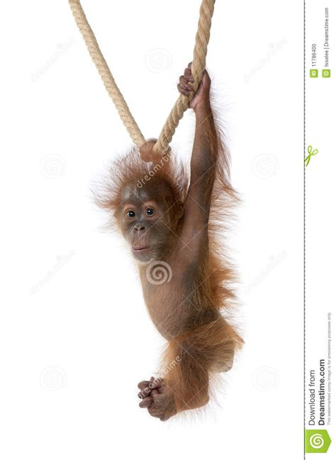 baby sumatran orangutan hanging  rope stock photo