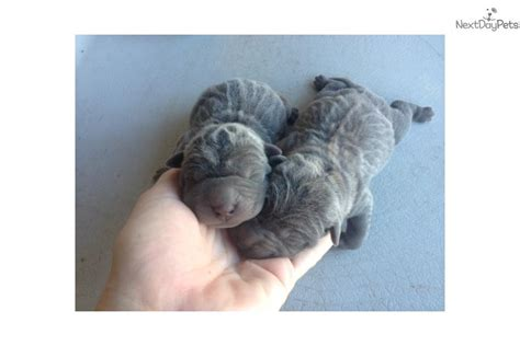 shar pei puppies for sale florida shar pei puppy for sale near space coast florida