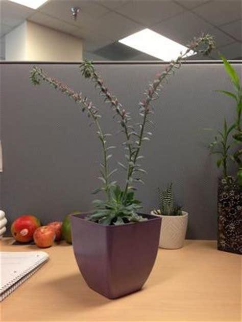 dusty light green succulent  long thin flowered stems