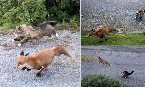 are foxes cats or dogs outfoxed fearless forest cat turns guard as he chases rival fox his land