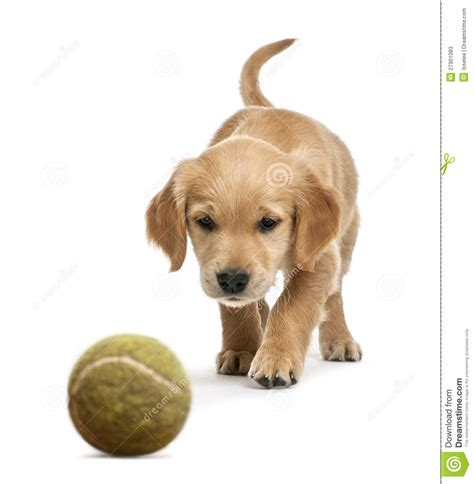 walking puppy golden retriever puppy 7 weeks walking stock image image of vertebrate
