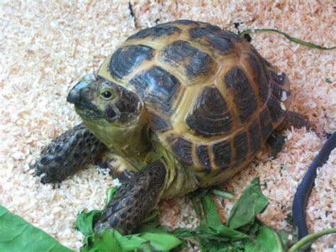 russian tortoises pin by rebakah gummere on turtles pinterest