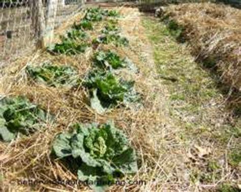using straw mulch in the vegetable garden