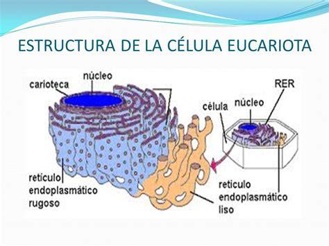estructura de la clula eucariota caracter 205 sticas universales de la c 201 lula ppt descargar