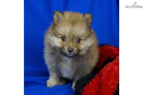 chocolate pomeranian puppy for sale chocolate lover boy akc pomeranian puppy for sale near springfield missouri