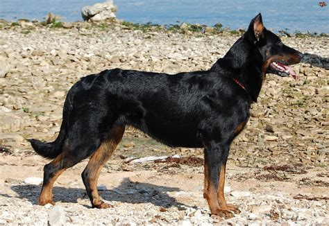 beauceron puppies beauceron on the photo and wallpaper beautiful beauceron on the