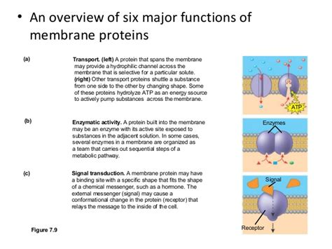 membrane function  structure  cell transport