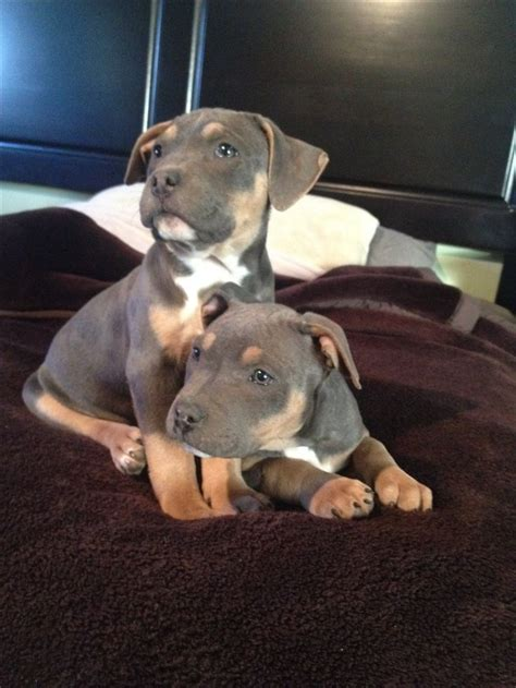 tri puppies tri color pitbull is so going to be my next puppy for sure tri colored pitbull