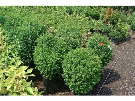 broadleaf evergreen pao horticultural