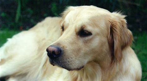 golden retriever diet at what age should i begin giving my golden retriever a joint supplement