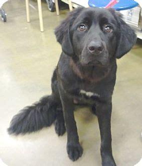 great pyrenees black lab puppy kira adopted puppy kira orlando fl labrador