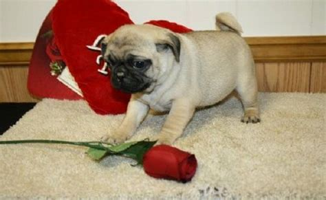 pugs in florida 25 best ideas about pug puppies for sale on cutest small dogs pics of