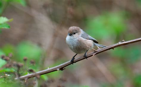 nw bird blog bushtit