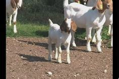 can you house train a goat goatvet likes these tips for marketing goat meat great ideas for direct sales eg