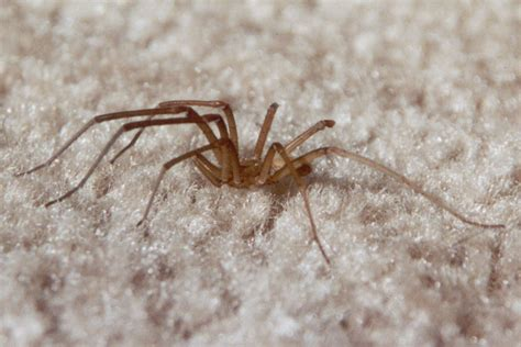aggressive house spider aggressive house spider pictures