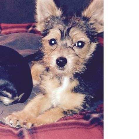 teacup yorkie for sale in maryland teacup yorkie puppies ready now pets for sale maryland free