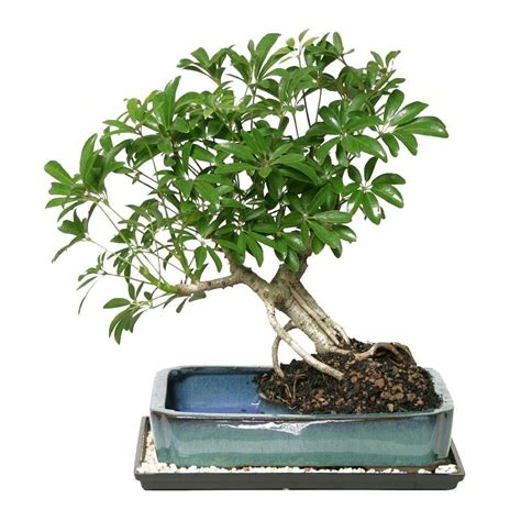 Making Christmas Decorations At Home Brussel S Bonsai Dwarf Hawaiian Umbrella Bonsai In Water