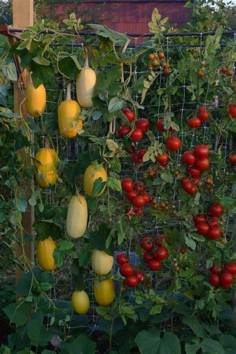 Vertical Tomato Gardening Edible Landscaping Ideas Design An Vegetable Garden