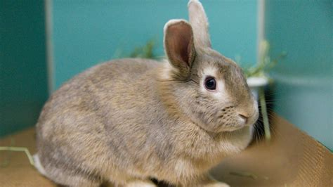 adopt a nyc adopt a rabbit and get a free bunny starter kit from animal care centers of nyc am