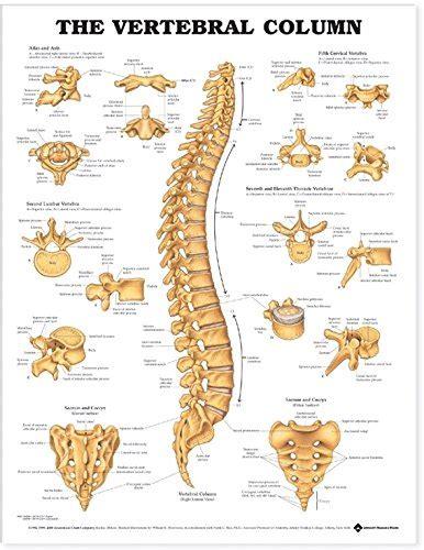 해외 척추 칼럼 해부 차트 The Vertebral Column Anatomical Chart