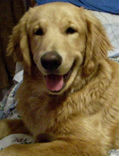 golden retriever age golden retriever photos pictures golden retrievers