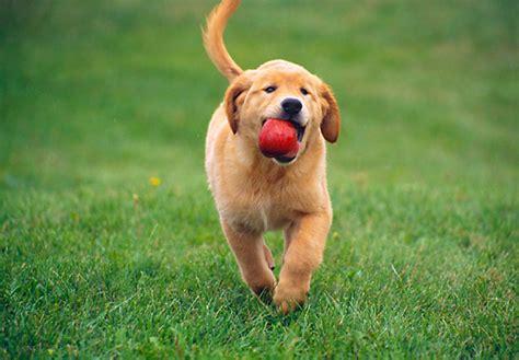 golden retriever puppy running carrying animal stock photos kimballstock