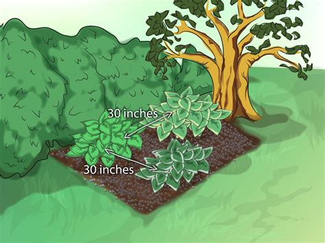 how to plant hostas 8 steps with pictures wikihow