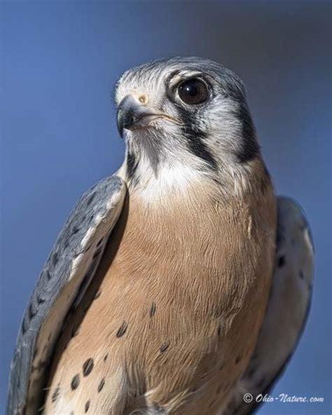 nw ohio birds of prey bird of prey sounds 460x575px