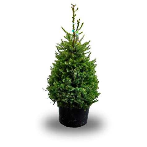 Superb Small Christmas Tree In Pot #1: Omorika3.jpg