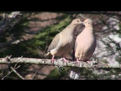 courtship dance of the mourning doves youtube