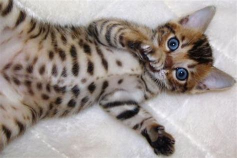 1000  images about BENGALS are AMAZING! on Pinterest