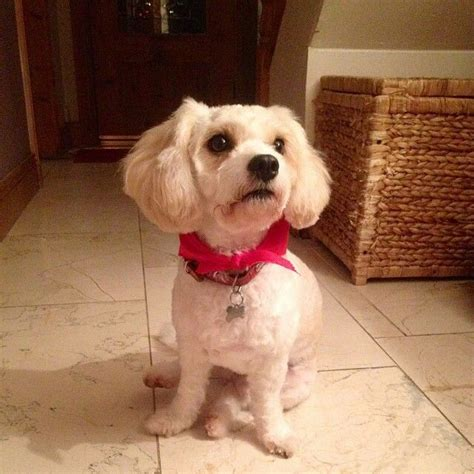 cavachon grooming styles cavachon haircut styles hairstylegalleries com