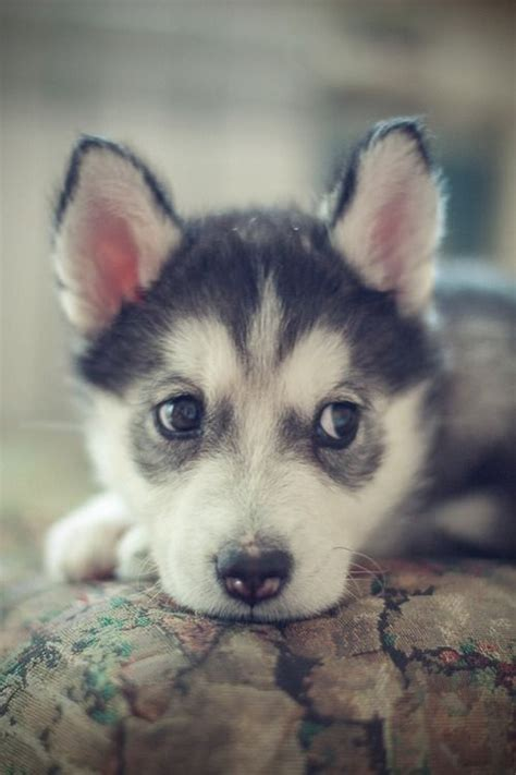cutest husky puppy 14 husky puppies that should be illegal