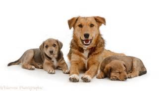 Brown dog and puppies photo wp24578