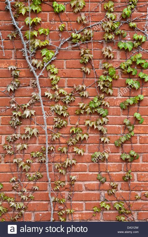 Against A Brick Wall vines against a brick wall stock photo 57844385 alamy