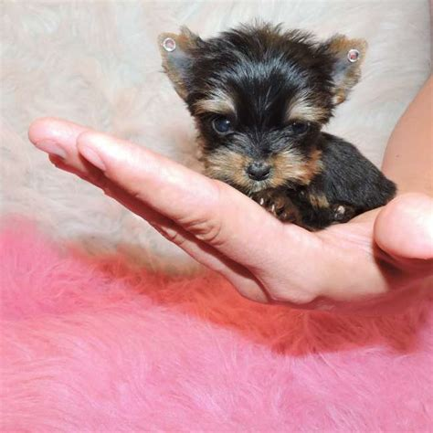 tracup yorkie tiny teacup yorkie puppy for sale doll teacup yorkies sale