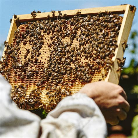 british honey bees for sale national nuc