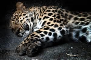 When Do Jaguars Sleep Sleeping Jaguar Dustin Senger