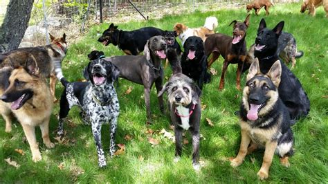 how many dogs is many 15 reasons why you should stay away from german shepherds
