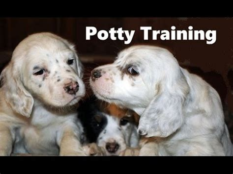 setter dog training how to potty train an english setter puppy english
