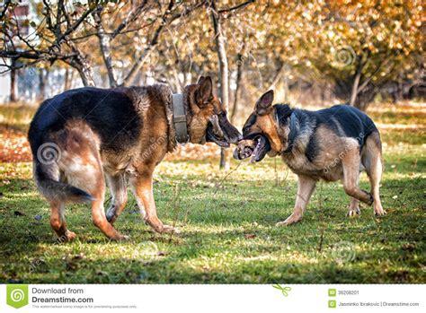 pug vs german shepherd rottweiler vs german shepherd fight www imgkid the image kid has it
